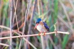 Malachite kingfisher preparing to dive Stock Photography