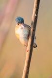 Malachite kingfisher Royalty Free Stock Photos