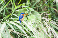 Malachite Kingfisher. Sitting on a grass stalk in Uganda stock photos