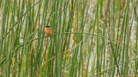 Malachite Kingfisher Stock Photography