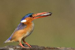 Malachite Kingfisher sitting on a perch with a fish Stock Photo