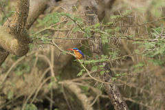 Malachite Kingfisher in a tree Stock Images