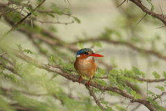 Malachite Kingfisher in tree. The Kingfisher was in a tree near the lodge Royalty Free Stock Images