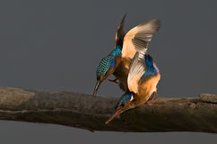 Malachite Kingfishers. On pirtch going for the catch Stock Photo