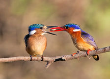 Malachite Kingfishers feeding a fish Stock Images
