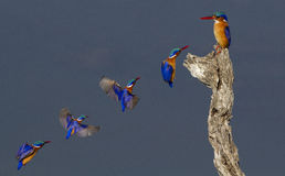 Malachite Kingsfishers in flight. A time sequence of Malachite Kingfishers in fllight stock photography