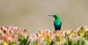 Malachite masculine Sunbird sur le buisson de protea Images libres de droits