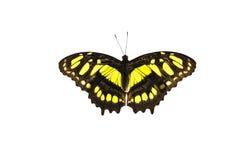 Malachite, siproeta stelenes. Butterfly Malachite, siproeta stelenes isolated on white background Royalty Free Stock Photography