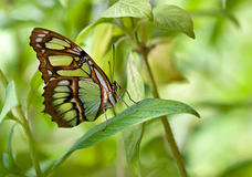 Malachite (Siproeta stelenes) butterfly Stock Photos