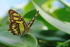 Malachite, siproeta stelenes, butterfly perched on leaf. Mainau Island royalty free stock images