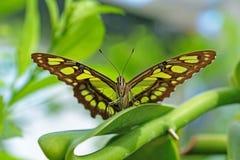 Malachite, siproeta stelenes, butterfly perched on leaf. Mainau Island stock images