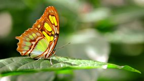 Malachite (Siproeta stelenes) butterfly Royalty Free Stock Images