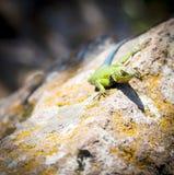 Malachite Spiny Lizard. Sceloporus Malachiticus sitting on a rock in Central America stock photo