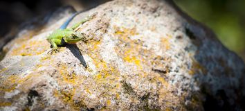 Spiny Lizard or Sceloporus Malachiticus royalty free stock photo