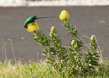 Malachite Sugar Bird sitting on yellow protea. Malachite Sugar Bird sitting on yellow pincushion fynbos and drinking nectar, South Africa royalty free stock photos