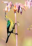 Malachite Sunbird image stock