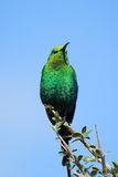 Malachite Sunbird Stock Photography
