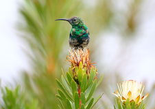 Malachite Sunbird Stock Images