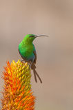 Malachite sunbird. Common and widespread sunbird.  Breeding males are irridescent green Royalty Free Stock Photography