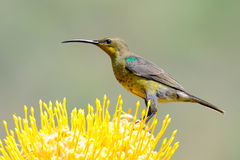 Malachite sunbird. Female malachite sunbird on protea flower.Sunbirds are small beautiful birds like hummingbirds in Central America Royalty Free Stock Images
