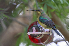Malachite sunbird. Drinking at a home made bottle feeder. The  (Nectarinia famosa) is a small nectivorous bird royalty free stock images