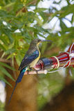 Malachite sunbird. Drinking at a home made bottle feeder. The  (Nectarinia famosa) is a small nectivorous bird royalty free stock image