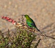Malachite Sunbird. A Malachite Sunbird in full breeding plumage collecting nectar from flowers royalty free stock image