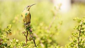 Malachite sunbird royalty free stock image