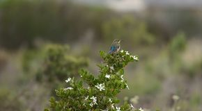 Malachite Sunbird Nectarinia famosa. Female, sitting on Carissa macrocarpa, looking right, Elgin Wine Estate, South Africa stock images