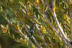 Malachite sunbird or Nectarinia famosa stock photos