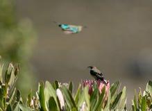 Malachite sunbird or Nectarinia famosa royalty free stock photography