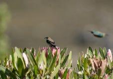 Malachite sunbird or Nectarinia famosa stock images
