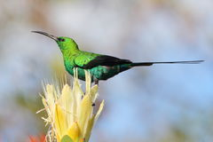 Free Malachite Sunbird Sitting On A Yellow Protea Stock Photography - 20032982