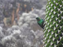 Malachite Sunbird su Lobelia gigante, Mt Kilimanjaro fotografie stock libere da diritti