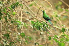 Malachite sunbird Royalty Free Stock Photo