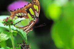 Malachite (underside) butterfly Royalty Free Stock Photos