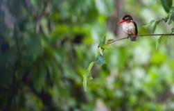 Malachiteisvogel oder Corythornis-cristatus lizenzfreie stockbilder