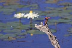 MalachiteKingfisher Arkivbilder