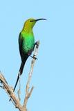 malachitesunbird Fotografering för Bildbyråer