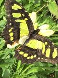 Malachitowa Motylia zbliżenie fotografia zdjęcia stock