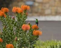 Malachitowego słońca ptasi patrzeć z lewej strony Fotografia Stock
