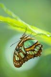 Malachitowy motyl (Siproeta stelenes) Obraz Stock