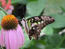Malachitowy Motyli karmienie na różowym kwiacie Obraz Stock