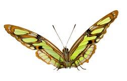 Malachitowy motyli portret na popielatym tle fotografia royalty free