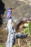 Malachitowy zimorodka obsiadanie na nieżywym drzewie blisko Chobe rzeki w Botswana zdjęcia royalty free