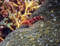 Malacoctenus-Macropus, rosiger Blenny Lizenzfreies Stockbild