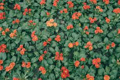Malacoides Primula стоковые фотографии rf