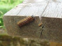 Malacosoma neustria] B??kitny motyli g?sienicowy lokaj zdjęcia royalty free