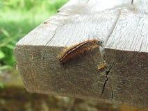 Malacosoma neustria] B??kitny motyli g?sienicowy lokaj obraz royalty free