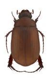 Maladera insanabilis Royalty Free Stock Image